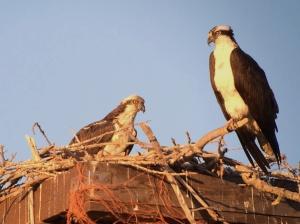 Ospreys feeding the chicks