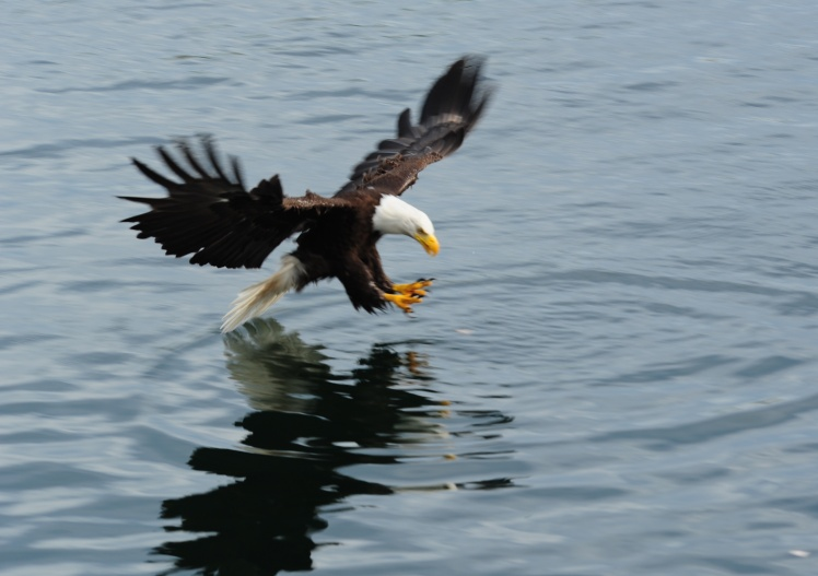 "Bald Eagle ""fishing."""