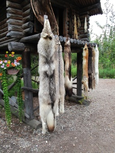 Animal pelts prepared by Athabaskan villagers