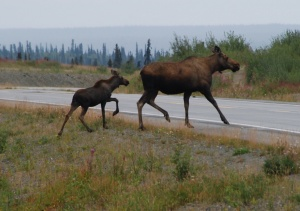 Mama and baby moose. Bonus!