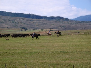 Herding Steers