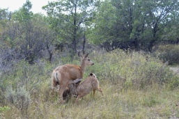 Mama Deer with Fawns